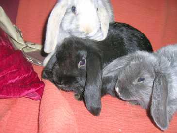 chercher des petites annonces lapins belgique. Black Bedroom Furniture Sets. Home Design Ideas