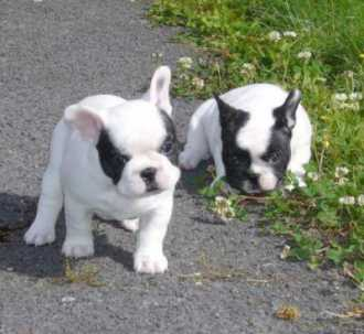 boule vaccin chien